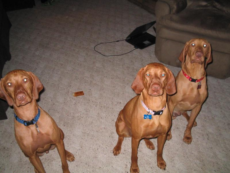 The Warf Vizslas